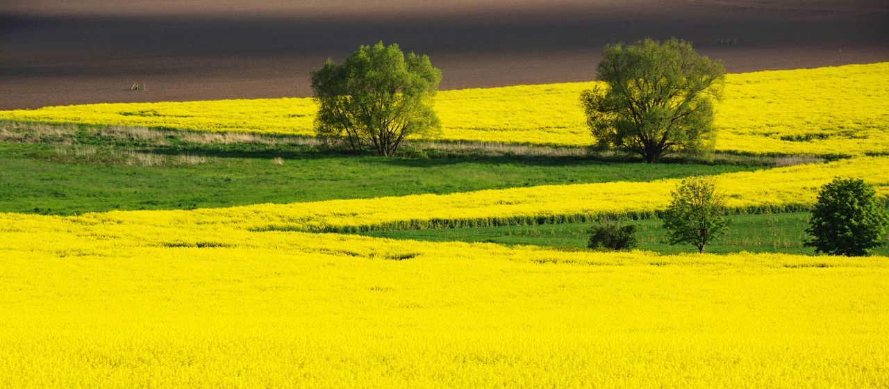 | zickzack | Natural Geometry Lines And Shapes Lines Greenery Green Field And Trees Fields Of Gold Blooming Fieldscape Fields Yellow Nature_collection Landscape_Collection Yellow And Green RapeFlowers Zigzag The Essence Of Summer Paint The Town Yellow
