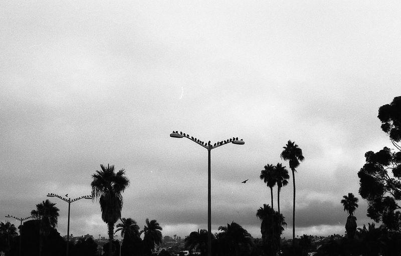 Analogue Cali California California Dreamin Calm EyeEnNewHere Film Ishootfilm Palms WestCoast Analog Beauty In Nature Birds Blackandwhite Film Photography Filmisnotdead Landscape Minimal Monochrome Nature No People Sky Tree EyeEmNewHere
