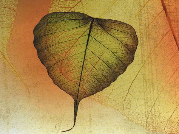 Abstract Photography Backgrounds Bodhi Leaf Close-up Leaf Leaf Vein No People Outdoors