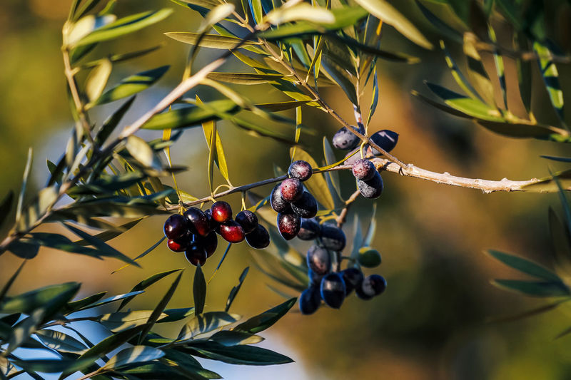 Fruit Healthy Eating Food And Drink Food Berry Fruit Plant Growth Tree Focus On Foreground Close-up Nature Day Wellbeing Leaf Plant Part Branch Beauty In Nature Selective Focus Outdoors Ripe Olives Olive Olive Tree EyeEm Nature Lover EyeEm Best Shots