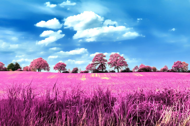 Purple flowering plants on field