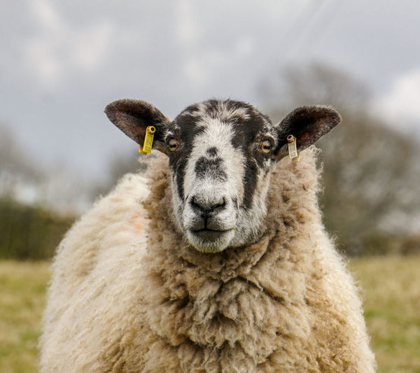 """If wool shrinks when you wash it, why don't sheep get smaller when it rains?""  ― Ron Brackin. 😂🤣 Funny Quotes Eyem Best Shots Woolly Portrait Sheep Wool Looking At Camera Agriculture Rural Scene Cute Oil Pump Pasture Livestock Tag Livestock Grazing Animal Eye Herbivorous"