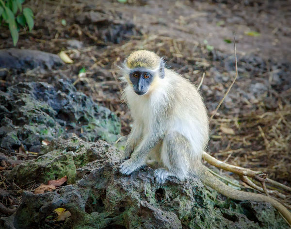 Green Monkey Animal Wildlife Animals In The Wild Care Day Focus On Foreground Full Length Land Looking Looking Away Mammal Nature No People One Animal Outdoors Portrait Primate Sitting Vertebrate
