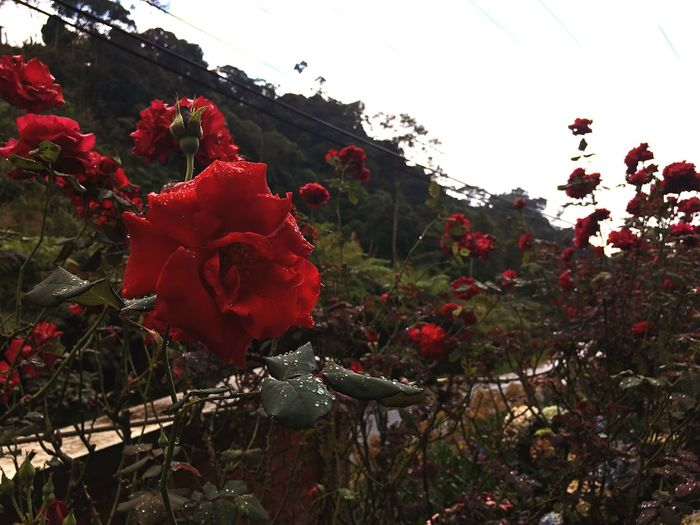 Flower Red Growth Nature Beauty In Nature Plant No People Petal Fragility Outdoors Freshness Day Poppy Tree Leaf Blooming Springtime Flower Head Close-up Sky Sabahtrip2017 Tb The Week On EyeEm