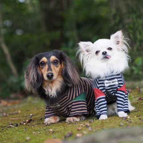 Dogs Of EyeEm Dachshund Minituredachshund Dog Walking お散歩 愛犬 チワワ Chihuahua Dog 秋photo お揃い ボーダーコーデ Autumn どんぐり
