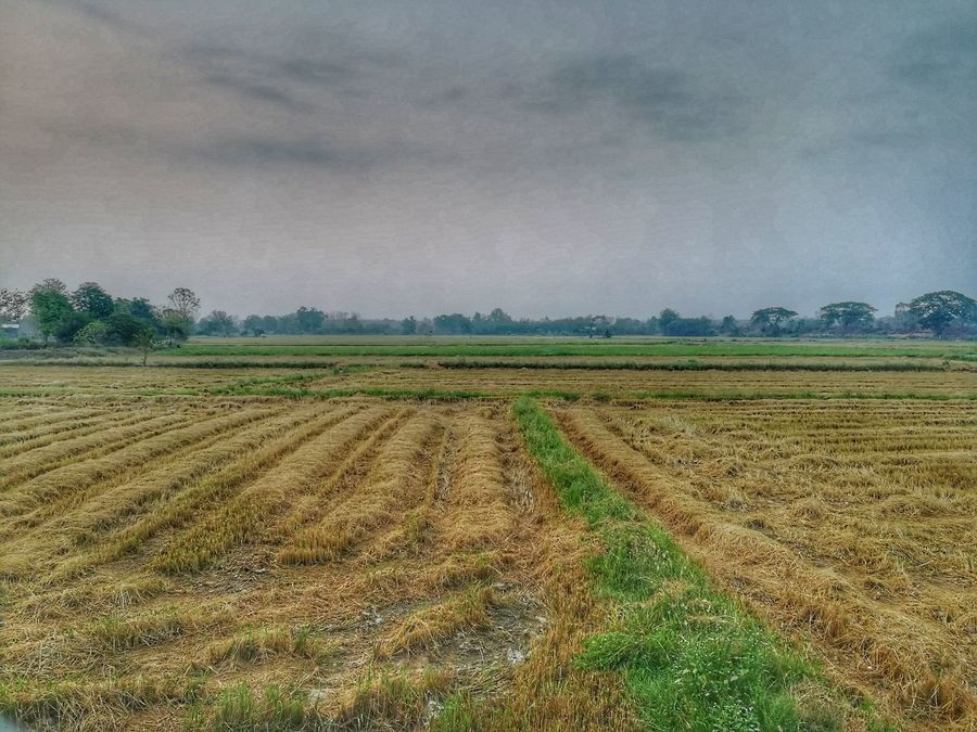 Farm Field Growth Agriculture Rural Scene Green Color Tree No People Beauty In Nature Nature Outdoors EyeEm Gallery Sukhothai, Thailand Huaweiphotography