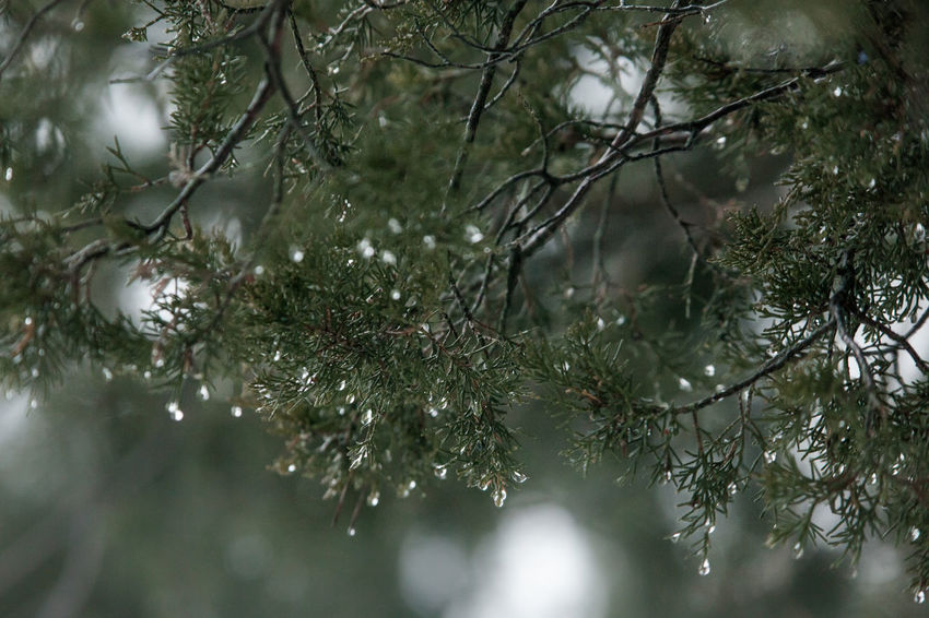 It's been awhile. Melting snow collecting on a evergreen tree. Evergreen Tree Winter Snow Water Waterdrops Green Nature Waiting For Spring Nature_collection Nature Photography Tree Ethereal Tranquility Tranquil Scene Park Close-up No People Pinaceae Day Beauty In Nature Forest