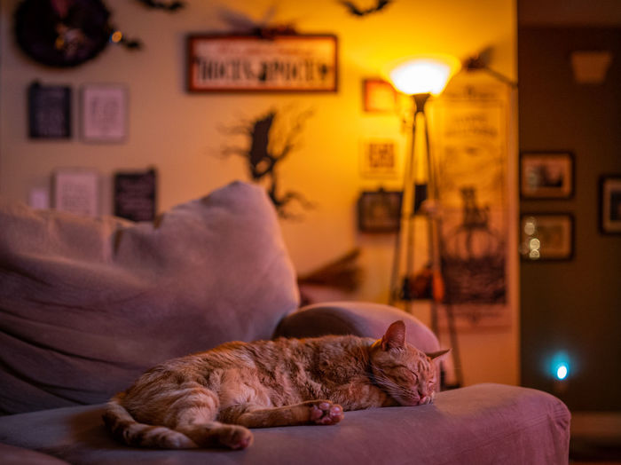 Halloween Animal Animal Themes Cat Domestic Domestic Animals Domestic Room Electric Lamp Focus On Foreground Furniture Home Interior Indoors  Lighting Equipment Living Room Lying Down Mammal One Animal Pets Relaxation Resting Sleeping Sofa