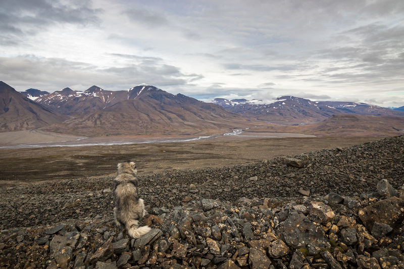 Giant polar dog looking at beautiful arctic landscape in svalbard, norway