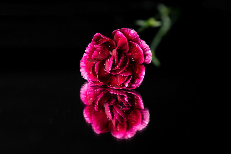 Beautiful Beauty In Nature Black Background Close-up Color Flower Flower Head Fragility Freshness Growth Mirror Mirror Reflection Mirrored Nature Petal Plant Purple Red Water Drops