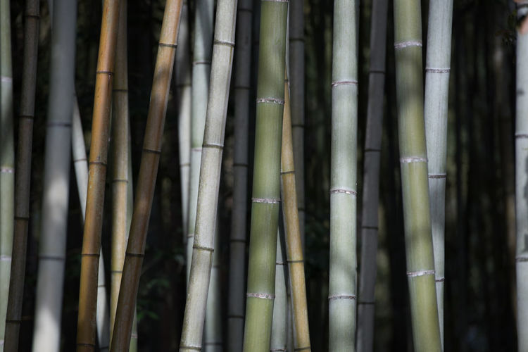 Bamboo Bamboo - Plant Tree Forest Bamboo Grove Plant Land No People Tree Trunk Growth Trunk Tranquility Nature Full Frame Beauty In Nature Backgrounds Day Outdoors Close-up Focus On Foreground