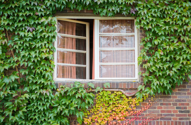 Green ivy on house with white window Window Architecture Leaf Plant Part Built Structure Plant Green Color Building Exterior Day Ivy Growth No People House Building Nature Outdoors Creeper Plant Residential District Beauty In Nature Glass - Material Window Frame