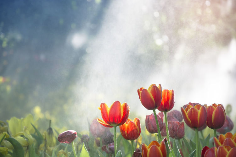 Orange-yellow tulips garden in the mist with water drop and sunlight with tree bokeh Beauty In Nature Bokeh Bright Drop Field Flower Flowering Plant Fragility Freshness Garden Growth Mist Moisture Nature No People Plant Springtime Sunlight Vulnerability