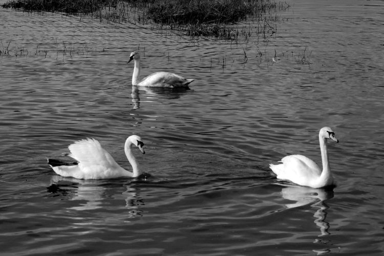 Three's A Crowd Water Swimming Bird Animals In The Wild Animal Themes Animal Wildlife Waterfront Swan Nature Water Bird Rippled Reflection Floating On Water Blackandwhite Black And White