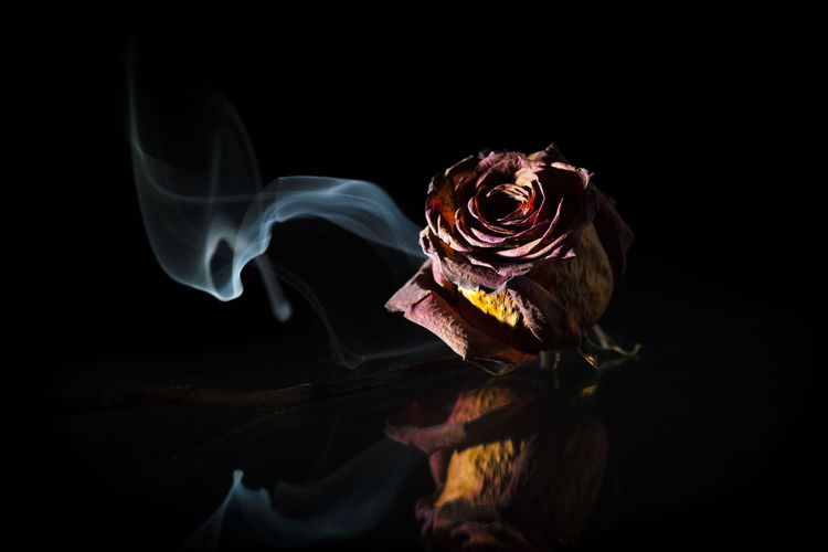 Dried red rose on glass plate in spot light in front of black background with smoke banner.