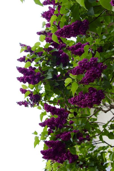 Beauty In Nature Close-up Day Flower Fragility Freshness Growth Leaf Lilac Nature No People Outdoors Plant Purple White Background