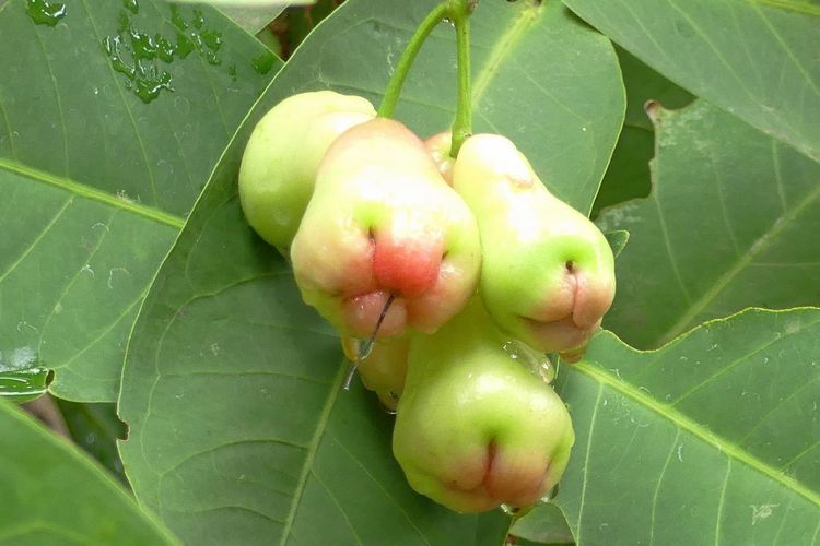 Fresh Rose Apple Beauty In Nature Close-up Day Food And Drink Fresh Rose Apple Freshness Fruit Fruit Background Fruits Green Color Growth Healthy Eating Leaf Nature No People Outdoors Plant Rose Apple Rose Apple Trees Rose Apples Tree ชมพู่ ผลไม้ ผลไม้สด ผลไม้ไทย