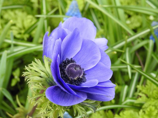 The Color Of Spring Check This Out Flower Blue Keukenhof Garden Holland Anemone