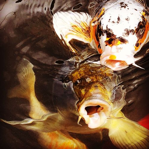 Nature Makes Me Smile Nature Lover Nature On Your Doorstep Nature Happiness Koi Pond Photographic Memory Photography Happy Fish Pond Life Pond Koi Carp No People Art And Craft Outdoors Backgrounds Creativity Nature Fish Mouth Open