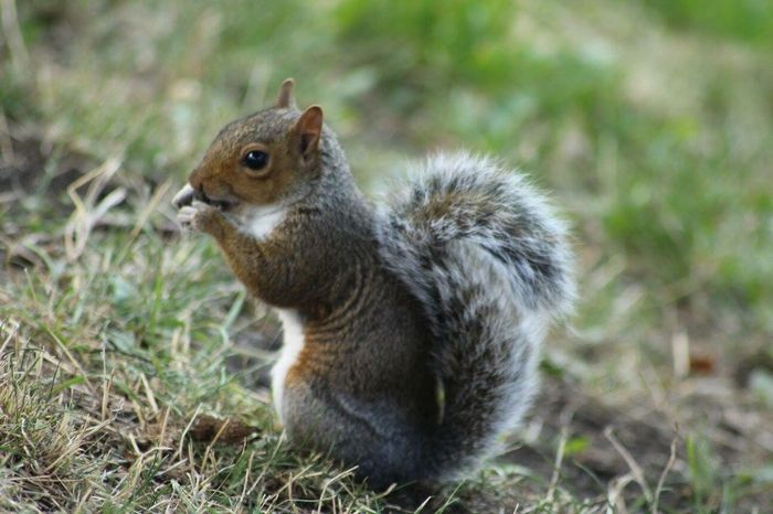 I just love wildlife Wildlife Scotland Nature Squirrel Gray Beauty Animals Edinburgh Quick Shot 70-300mm Telephoto Zoom Lens City Centre Starting In Photography Daytime Natural Lighting Cano Cameras Canon Photography