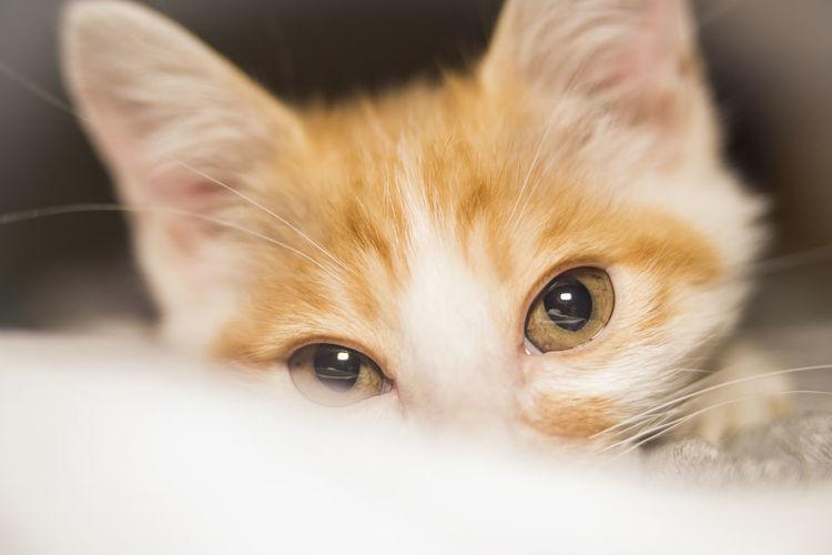 cat EyeEm Selects Kitten Child Feline Looking At Camera Domestic Cat Cute Eye Beauty Cat Animal Eye At Home Animal Face