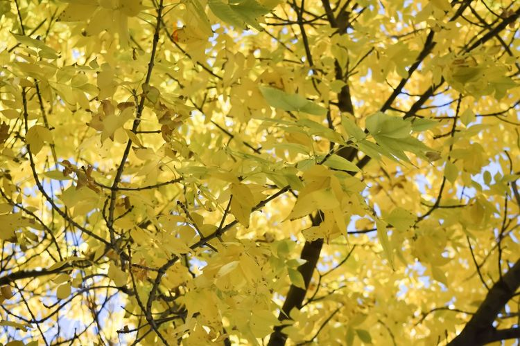 Chicago Nature Nature_collection Plant Tree Beauty In Nature Yellow Growth Branch No People Close-up Backgrounds Day Low Angle View Blossom Full Frame Outdoors Fall Fall Beauty Fall Colors Autumn Autumn colors Flower Flowering Plant Springtime Vulnerability