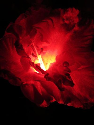 marsala Nature Scarlett Botanical Rosato Flowers Nightgarden Garden Beauty Gladiolus Fleurs МайяПлисецкая гладиолус ночнойсад Silhouette Colored Shade Glow Tone Evening Dark Red Infrared Marsala Passion Redlight Rosso Rosé Black Background Red Close-up