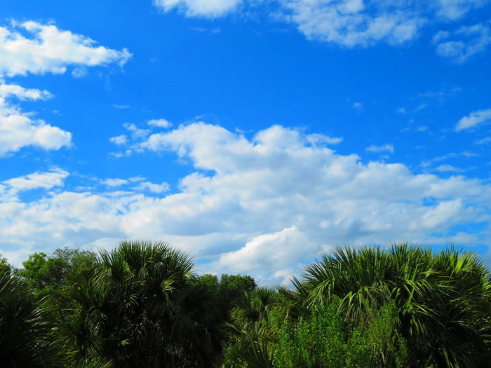Landscape in Florida Blue Sky And Clouds Blue Sky Tree Blue Forest Tree Area Sky Cloud - Sky Tropical Tree Tropical Climate Palm Leaf Frond Treetop