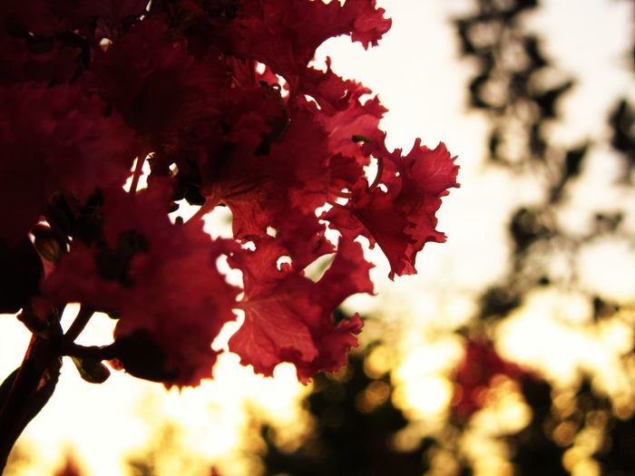 No People Outdoors Growth Nature Plant Lagerstroemia Crape-myrtle Sunlight Flower Red Petal Close-up Flowering Plant
