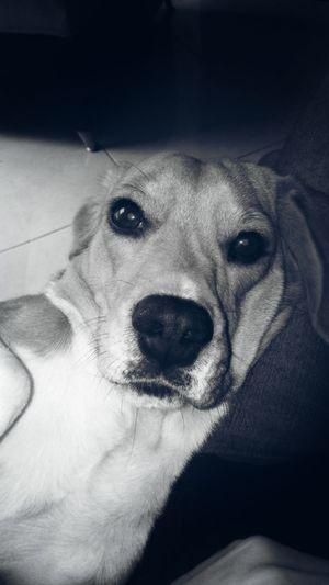 Porque hay secretos bajo agujas doradas Nature Photooftheday Day Filter Antigua Fragility No People Eyeemphotography Canon_official Canon Sx50 Medellin City Dog Dog Love Beagle Beagleoftheday