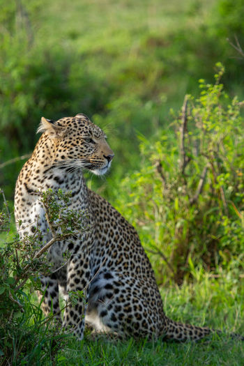 Full-length profile of leopard sitting in shrubs looking to the side