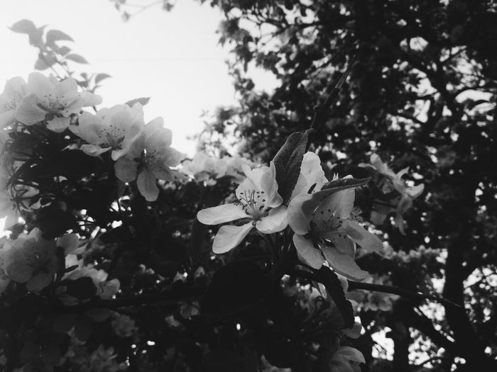 trees exploded in beauty🌸Nature No People Day Growth Plant Outdoors Close-up Fragility Tree Leaf Refraction Freshness Sky Beauty Black & White Blackandwhite Photography Tree Spring