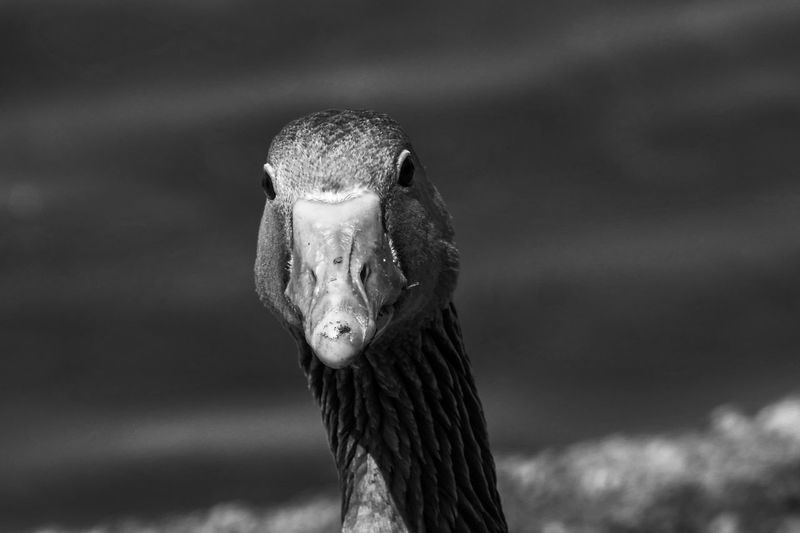 Black and white image of female canada goose