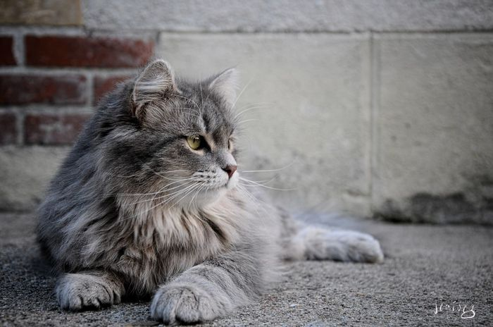 Cat♡ Cute Cats Siberian Kitty Cats Of EyeEm Catoftheday