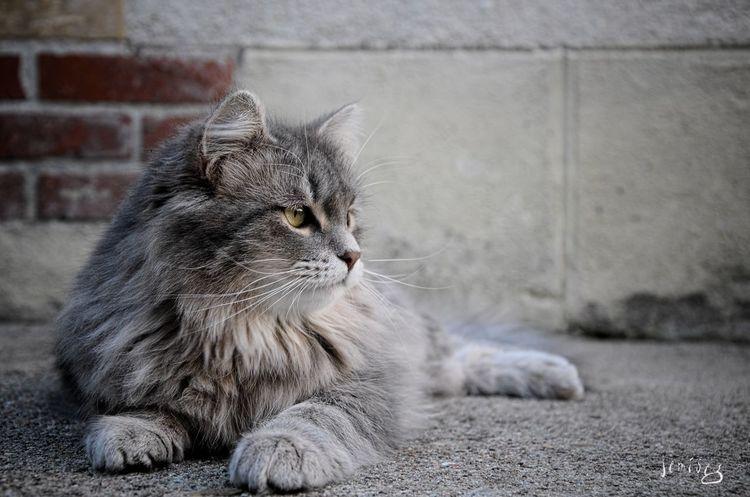 Cat♡ Cute Cats Siberian Kitty Cats Of EyeEm Catoftheday