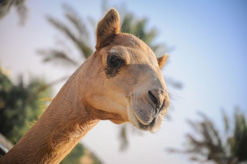 Low Angle View Of Camel