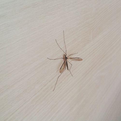 Osijek Mosquito Mücke