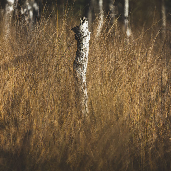 Dried Tree Trunk Amidst Grassy Field
