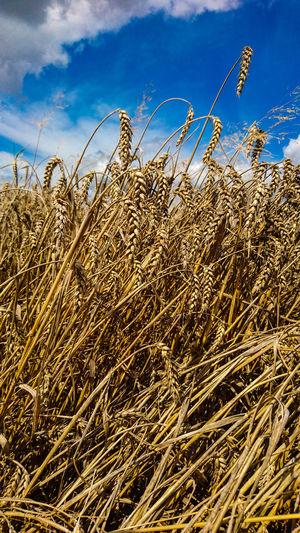 wheat Gold Sky