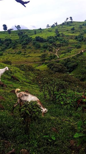 Ethiopia Anymals Anymal Sheep Sky Tree Land Ethiopia Land Green Color Grass Animal Mammal Plant Animal Themes Livestock Field Environment No People Landscape Domestic Animals Nature Domestic Pets Group Of Animals Vertebrate Day Outdoors