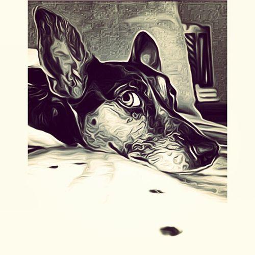Ratterriersofinstagram Ratterrier Toyfoxterrier Cuddlebuddy lovemydog