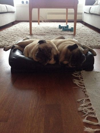 Hello World Puglife Sleepyheads Happyweekend