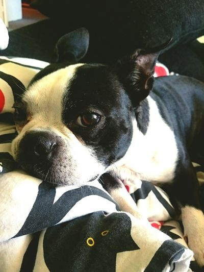 Boston Terrier Really Tired Relaxing Real Friend Home Chillin