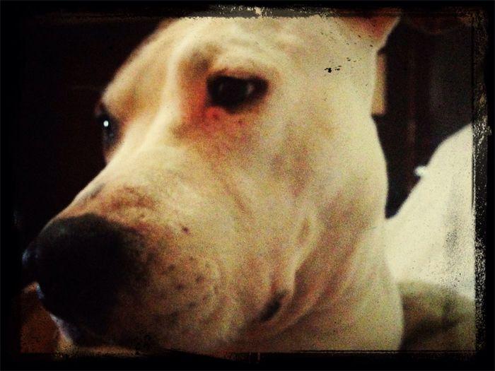Neska polita Stanfordshireterrier American Stanford  Americanstanford I Love My Dog Dog Lover