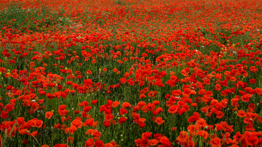 British Legion Flanders WW2 Memorial Abundance Backgrounds Beauty In Nature Day Field Flanders Poppy Flower Flower Head Flowerbed Flowering Plant Fragility Freshness Full Frame Gardening Growth Land Multi Colored Nature No People Ornamental Garden Outdoors Plant Poppy Red Remberance Day Remeberance Springtime Vibrant Color Vulnerability  Ww1 Ww1 Memorial Ww2