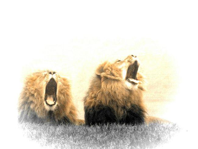 Lions Yawning Yorkshire Wildlife Park Yorkshire Tired! Wildlife Big Cats