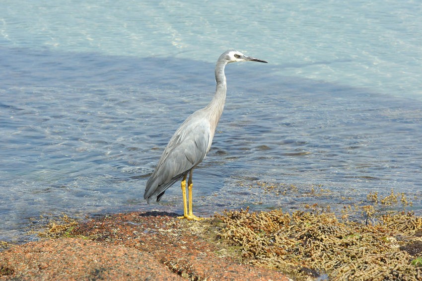 White-faced Heron, Freycinet National Park, Tasmania, Australia Animal Themes Animal Wildlife Animals In The Wild Australia Beauty In Nature Bird Birdlife Birdwatching Coast Coastline Day Egretta Fauna Freycinet National Park Heron Nature No People Novaehollandiae One Animal Outdoors Sea Tasmania Travel Water White-faced Heron