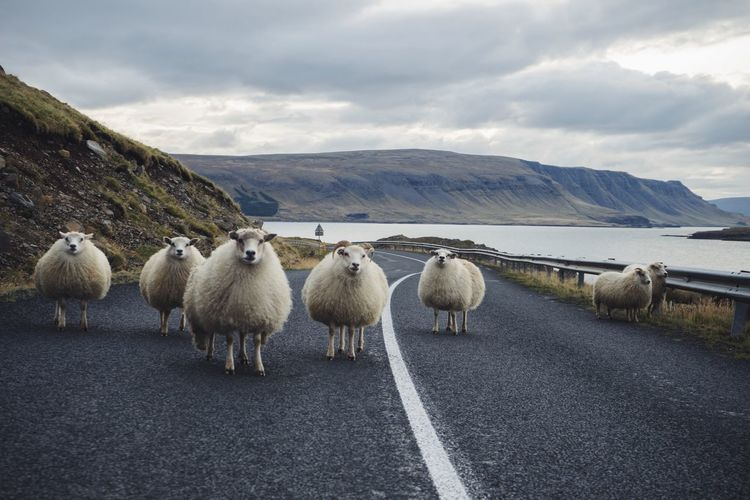 Animal Themes Animals Iceland Nature Outdoors Road Sheep Sheep On Road Travel