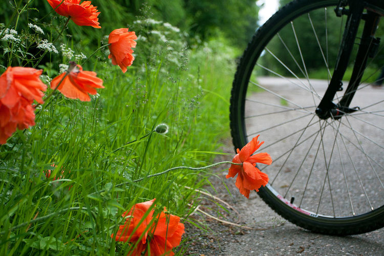 Close-up of red flowering plants by bicycle
