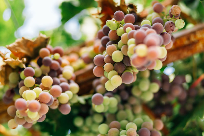 Bunch of grapes Abundance Agriculture Beauty In Nature Berry Fruit Bunch Close-up Focus On Foreground Food Food And Drink Freshness Fruit Grape Growth Healthy Eating Nature Organic Outdoors Plant Selective Focus Vine - Plant Vineyard Wine Winemaking